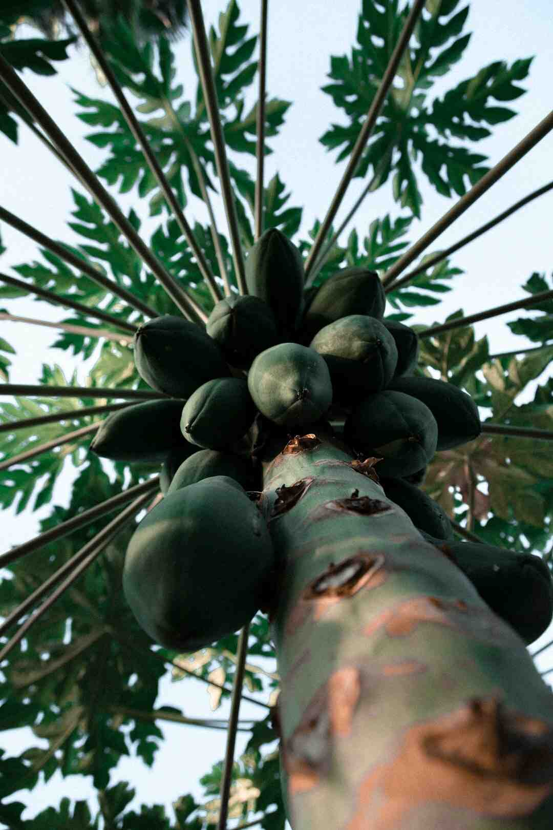 Comment acheter une papaye mûre