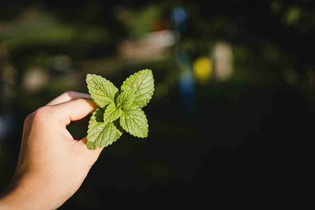 Comment conserver des feuilles de menthe
