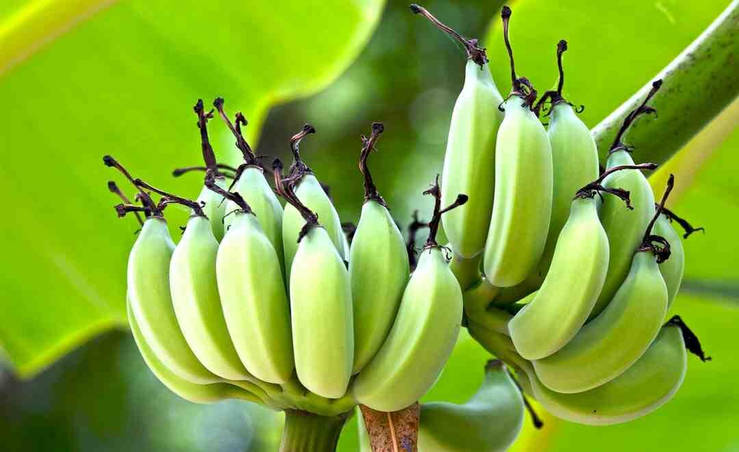 Quelle est la taille d'une banane plantain ?