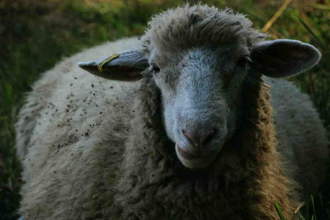 Comment faire cuire des côtes d'agneau
